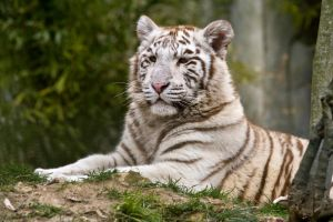 5524 - White Tiger cub by Jay-Co