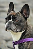 Donna, The French Bulldog by KirstenLindeboom