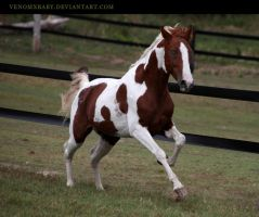 chestnut tobiano stallion 1 by venomxbaby
