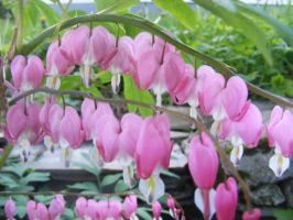 bleeding hearts 2013 by BlueIvyViolet