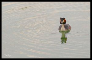 Crested grebe by oxalysa