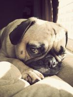 Sleepy Pug by garnettrules21