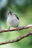 Tufted Titmouse by Jay-Co