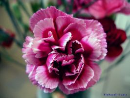 Pink Carnation 01 by Xiuhcoalt