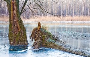 old trees new ice by woisvogi