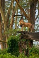 African Lion 77 by catman-suha
