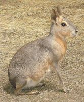 Patagonian Cavy by MusicChick257