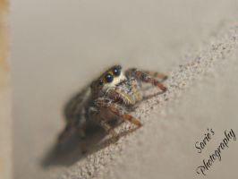 Jumping Spider 002 by Sariebear20