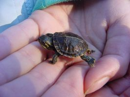 Teeny Tiny Turtle by I-Heart-Photos