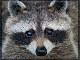 Raccoon. by maska13