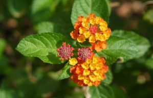 Details in Nature - Lantana by SneakyC2