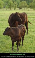 2 Cows 1 Field by Morf-stock