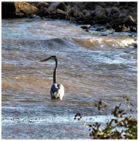 Wading for Lunch by SuicideBySafetyPin