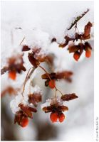 Euonymus Snow Berries by butterfly36rs