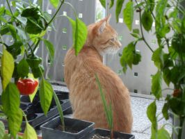 The cat and the chili pepper by Paul774