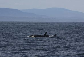 Resident Orca Cows 0504114 by OrcinusPacifica