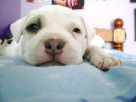 Pitbull puppy by jaZzLIn3egurll