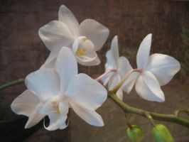 White orchid by CAStock