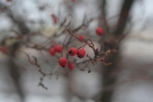 rowanberry by crazyfreedom