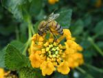The Bee and The Yellow Flowers by jmattes
