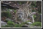 Snow leopard 2 by swell56