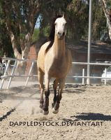 Buckskin Arabian 02 by dappledstock