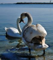 Swan.Love by SoulTwo