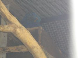Hyacinth macaw 1 by Storm-The-Bird