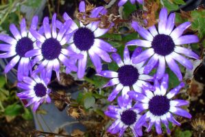 Purple and white daisies by EruwaedhielElleth