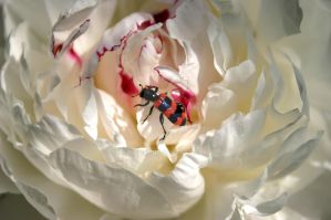 Paeonia officinalis (with burying beetle) by Toki47