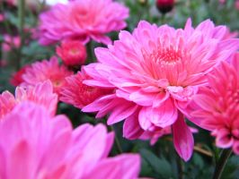 Pink Mums by tom-girl5973