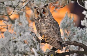 Long eared owl by missfortune11