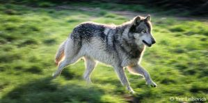 Wolf in a hurry by Yair-Leibovich