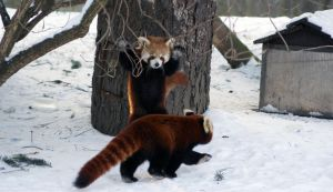 Boo Red Pandas by Vertor