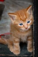 Red Kitten by joemill