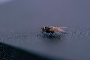 Common house fly by araenae