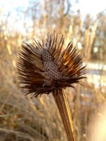 Coneflower Seedhead by Bwabbit