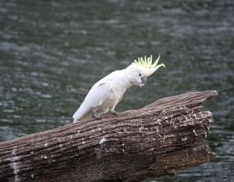 Sulphur Crested Cockatoo 24 by aussiegal7