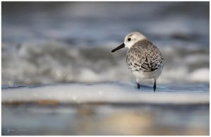 Solitary Sanderling by Ryser915