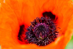 Papaver by StainXY