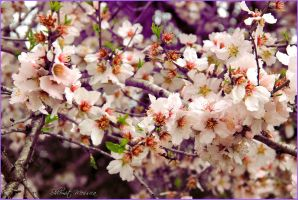 Almonds for Adrienne by ShlomitMessica