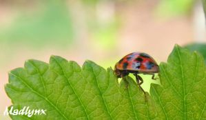 Coccinelle au travail by madlynx