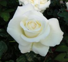 The White Rose by WhirlingBlue
