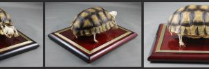 Articulated Sulcata Tortoise Skeleton by BluesCuriosities