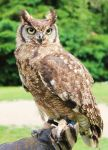 Owl-Stock 1 by Avahlon-Stock