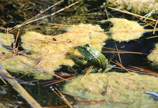 Chiricahua Leopard Frog by InfinityandOne