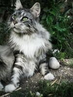 My Maine Coon ... by Flore-stock