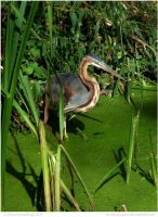 Purple Heron by In-the-picture