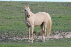Palomino Stallion by How-You-Remind-Me
