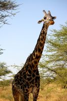 Giraffe in the Serengeti II by porpierita